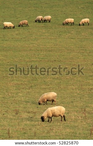 sheep's line-up - stock photo