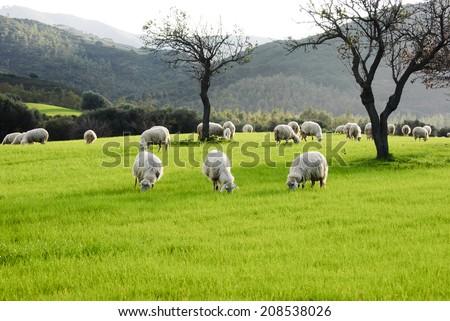 Sheep/Sardinia. sheep grazing before milking. - stock photo