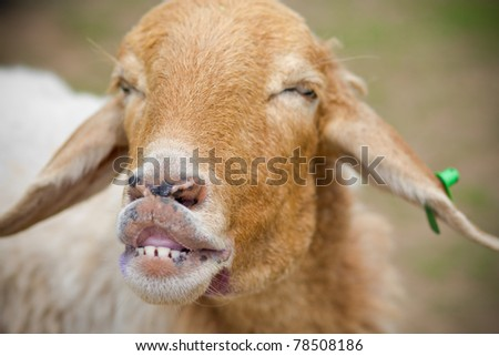 Sheep smile. - stock photo