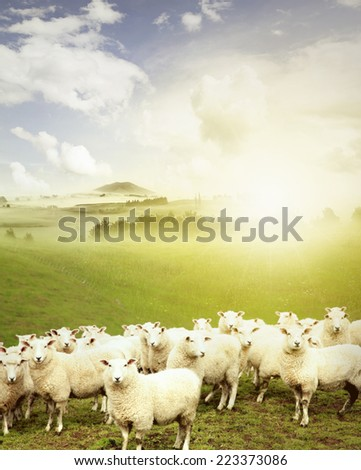 Sheep standing in paddock facing camera, New Zealand  - stock photo