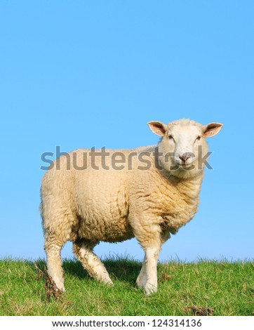Sheep standing on seawall - in this version you can write a text on it. - stock photo