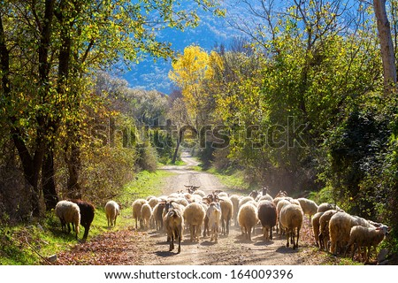 Sheep traffic on the road between autumn trees - stock photo