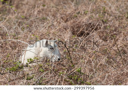 sheep trapped in bramble and bracken vegetation - stock photo