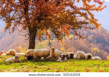 Sheep under the tree  in autumn landscape in the Romanian Carpathians