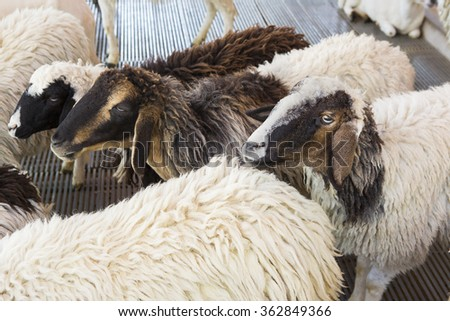 sheep waiting to be sheared for their wool.  - stock photo