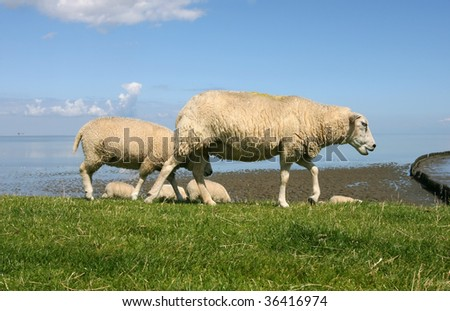 sheep walking and grazing at the borders of the wadden sea in Friesland(Holland)
