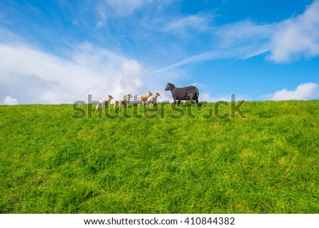 Sheep walking on a dike in spring