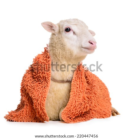 Sheep with  blanket. animal isolated on white background  - stock photo
