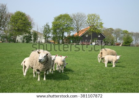 sheep with lamb in the meadow by a farm - stock photo