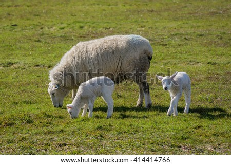 Sheep with lambs - stock photo