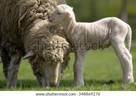 Sheep with young sheep. For mother's day. - stock photo