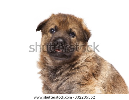 sheepdog puppy isolated on white background - stock photo