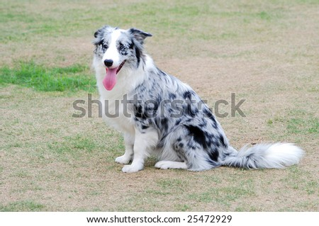 Sheepdog sitting on the lawn - stock photo