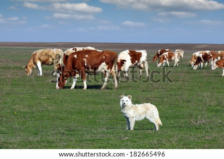 sheepdog with herd of cow in background - stock photo