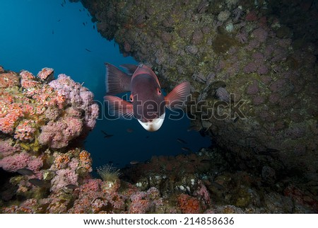 Sheephead fish at Oil Rig Artificial Reef