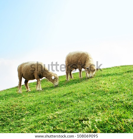 Sheeps grazing in the field, Cingjing Farm, Taiwan.