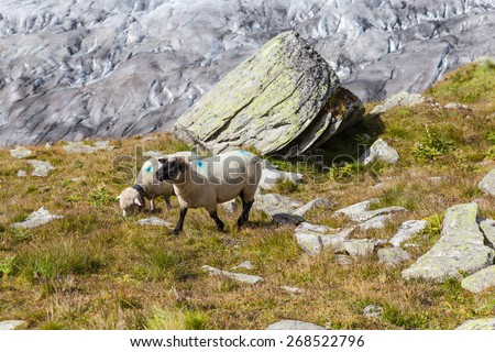 Sheeps in alps above the Aletsch glacier in Jungfrau region, Valais, Switzerland - stock photo
