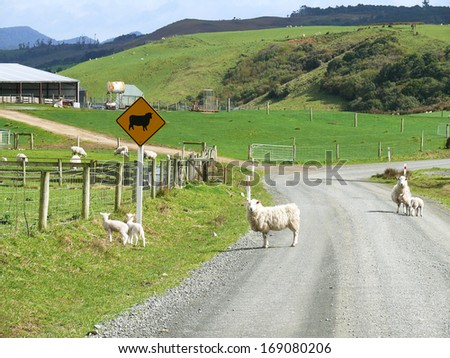 Sheeps in the middle of a gravel path in New Zealand - stock photo