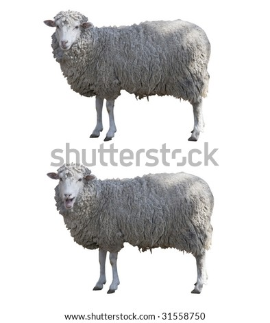 Sheeps isolated whit clipping path - stock photo