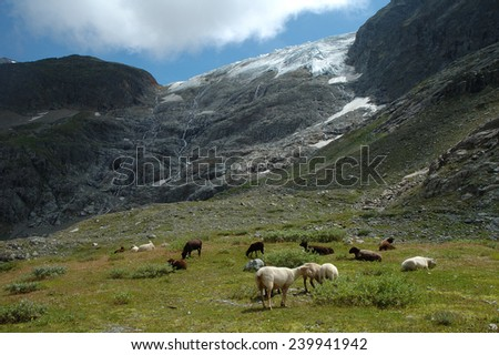 Sheeps on meadow at Steigletscher nearby Sustenpass in Alps in Switzerland.