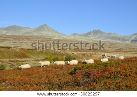 sheeps on the Rondane plateau in Norway.