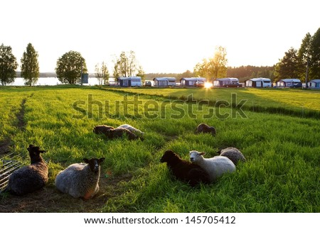 Sheeps relaxing by the camping - stock photo