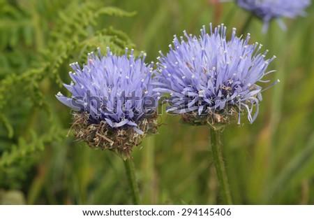 Sheepsbit - Jasione montanaBlue flower of coastal grassland - stock photo