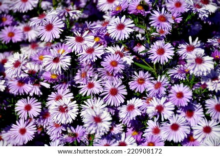 Shelburne Falls, Massachusetts:  A mound of wild purple Asters on the Bridge of Flowers - stock photo