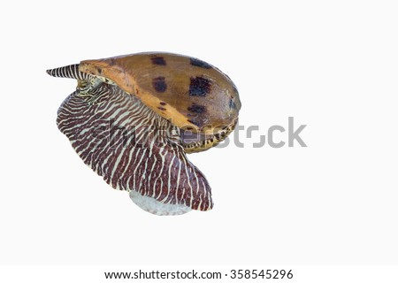 Shell seafood ,bailer shell with beautiful patterns ,colorful patterned blotched melon shell isolate on white background,shell fresh and tasty  - stock photo