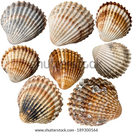 Shells Collection / Set of eight seashells isolated on white background - stock photo