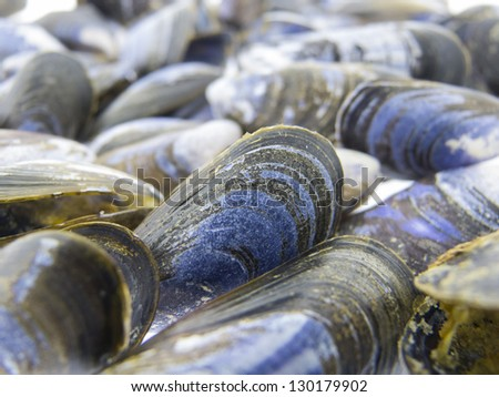 Shells of mussels - Mytilidae - stock photo