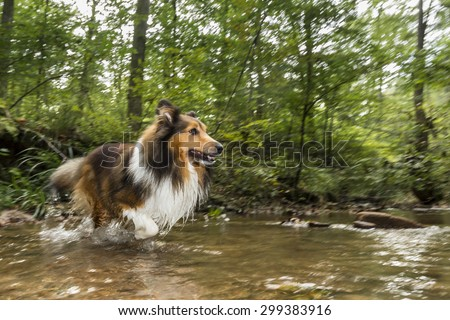 shelti (shetland sheepdog) running through a streambed - stock photo