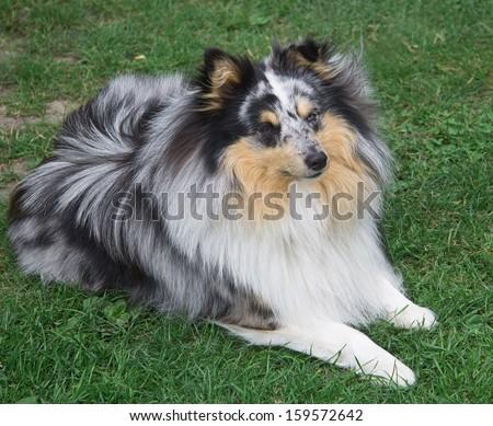 Sheltie dog - stock photo