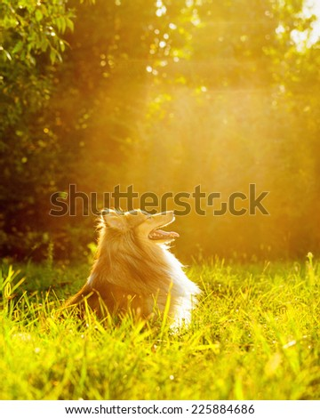 Sheltie dog breed posing outdoors on a green lawn on a sunny day - stock photo