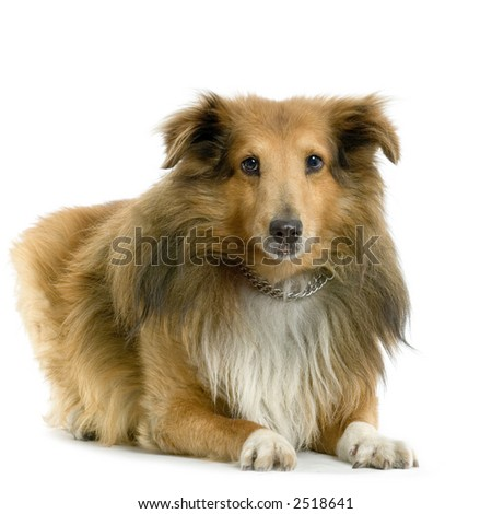 sheltie lying in front of white background - stock photo