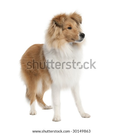 sheltie (5 months old) in front of white background - stock photo