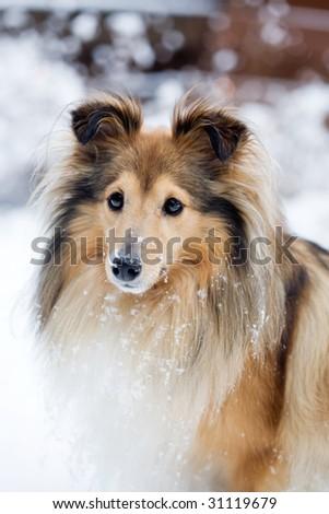 Sheltie outdoors in winter - stock photo