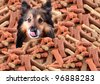 Sheltie peeking over large mound of  dog bone shaped treats or biscuits while licking his nose - stock photo
