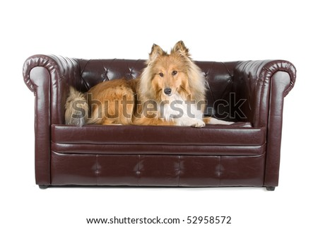 shelty relaxing on a dog couch isolated on a white background