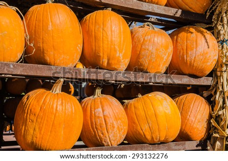 Shelves of pumpkins on display at a market in autumn - stock photo