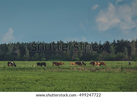 shepherd and herd of cows