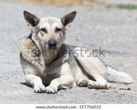 Shepherd dog lying - stock photo