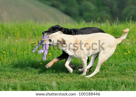 Shepherd Dog Mix plays with toy - stock photo