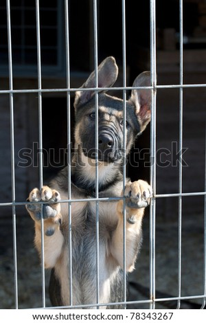 shepherd dog puppy in the pound - stock photo