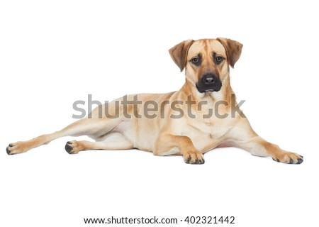 Shepherd Mongrel breed dog lying sideways and looks beige brown