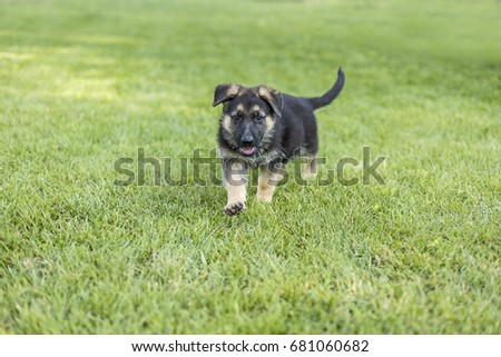 Shepherd puppies playing on the lawn