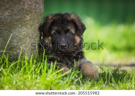 Shepherd puppy playing, cute dog on the grass, wet, German Shepherd - stock photo