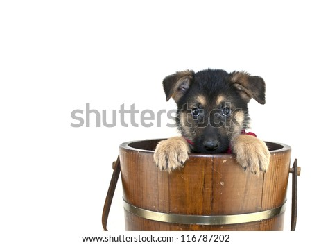 Shepherd puppy that looks like he is playing peek a boo in an old bucket on a white background with copy space. - stock photo