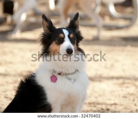 Shetland Collie dog posing for the photographer, Quebec country, Canada - stock photo