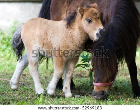 Shetland ponie pasture - stock photo